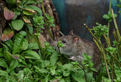 DSC08386  Up Yours (Rattyman76) Tags: gesture rat rude