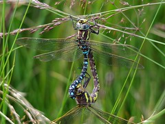 dragonflies mating common Hawkers, Aeshna juncea. (7) (Simon Dell Photography) Tags: dragonflies flys dragon dragonflys mating locked together simon dell photography sheffield longshaw estate 2016 views sights nature landscapes old new fox house peak district national park macro close up awsome detail summer