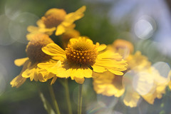 Love and Happiness (C-Smooth) Tags: flowers helenium bokeh nature beauty floral delightful garden yellow closeup delicate pretty delicious light summer botanical stefanocabello love happiness csmooth