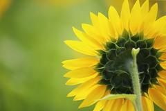 Back (Teruhide Tomori) Tags: nature summer yosano kyoto japan flower sunflower       yellow green