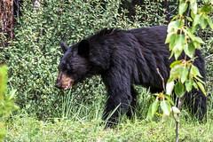 Random encounter (Julien//K) Tags: greatphotographers mammal animal banff national park alberta canada nature black bear ours noir plants forest nikon d7100 tamron 90mm f28 berries