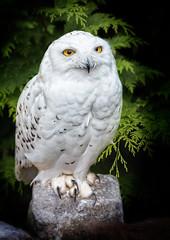 Snowy owl (stevehimages) Tags: steve steveh stevehimages wowzers canon warden higgins grandpas den west midlands 2016
