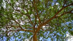 DSCF6893 (shahmurai) Tags: fujifilmxt1 mithi nagarparkar thar sindh pakistan tree