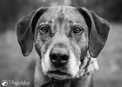 My other Dog, Gamba. Such a handsome lad! (StaffordshirePhodography) Tags: dogphotography dogphotographer petphotography rhodesianridgeback ridgeback sonya7rii sonyalpha canonfd bokeh phodography