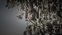 Just Hanging - 1417-_MG_0526 (Robert Rath) Tags: bat fruitbat critters animals flyingfox megabats pteropodidae herbivores dusk tonga vavau travel