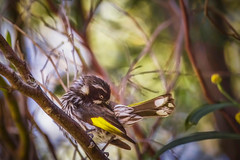 Secret Spot (satochappy) Tags: bird ourdoor wildlife newhollandhoneyeater nsw australia sydney rhodesnsw bush tree bokeh canon sigma preening     park