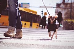 Zebra Crossing - Jaywalking dog (polybazze) Tags: street city vacation people dog bus animal 50mm interestingness shoes europe crossing boots interestingness1 streetlife jeans zebra malm zebracrossing bergsgatan canonef5014usm eos60d flickrhivemindgroup