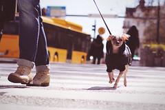 Zebra Crossing - Jaywalking dog (polybazze) Tags: street city vacation people dog bus animal 50mm interestingness shoes europe crossing boots interestingness1 streetlife jeans zebra malmö zebracrossing bergsgatan canonef5014usm eos60d flickrhivemindgroup
