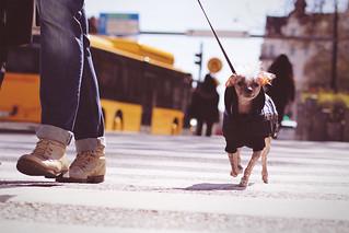 Zebra Crossing - Jaywalking dog
