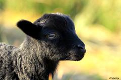 Spring (Valerie Overgaauw) Tags: pet pets sun cute weather animal animals canon eos spring sheep farm april lamb ram springtime 600d