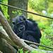 Male Chimpanzee of Yokohama Zoological Gardens : ズーラシアのチンパンジー