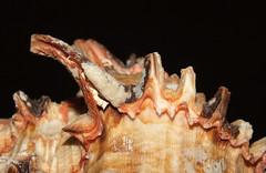Rosy-mouth murex (Hexaplex (Trunculariopsis) rosarium) shell close up (shadowshador) Tags: life sea shells beach up mouth sand close wildlife sandy shell snail cape snails biology verdes animalia mollusca gastropoda gastropod invertebrate invertebrates angola rosy scientific taxonomy classification gastropods murex rosarium eukaryota malacology conchology lophotrochozoa orthogastropoda muricidae neogastropoda hexaplex orthogastropod opisthokonta neomura orthogastropods holozoa filozoa neogastropod muricoidea neogastropods muricinae trunculariopsis