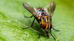 Dorée (Coeur Étranger) Tags: macro nature fly natureza inseto mosca insecte mouche