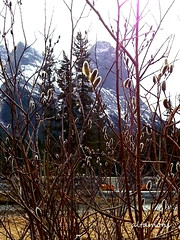 Another sign of spring! (altamons) Tags: plants mountain plant canada mountains rockies rocky canadian alberta rockymountains mountainview canmore pussywillows mountainscape haling bowvalley altamons