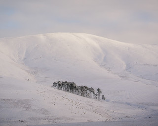 Sheep Farming in the Borders in Winter