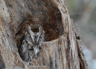 Home of the Eastern Screech Owl