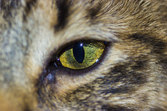 macro Cat (MATA_EL_PAYASO) Tags: chile macro eye cat canon ojo gato 90mm tamron90mm