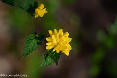 Kerria (Reinhold.Lotz) Tags: natur pflanzen ranunkelstrauchkerriajaponica
