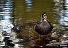 Duck (janet_grimaphotography) Tags: water birds river photography duck nikon feathers australia maribyrnong brimbank keilor