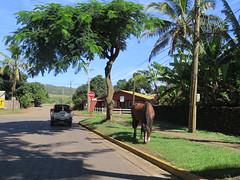 """Un cheval sauvage au milieu de la route, une scène banale sur l'ile de Paques <a style=""""margin-left:10px; font-size:0.8em;"""" href=""""http://www.flickr.com/photos/83080376@N03/17249610335/"""" target=""""_blank"""">@flickr</a>"""