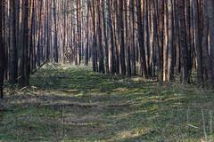 Brandenburg - morgendlicher Sonnenschein im Wald