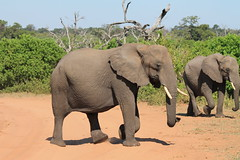 Chobe National Park, Botswana (MJR96) Tags: africa park red wild big sand wildlife sunny safari clear national botswana chobe tusk