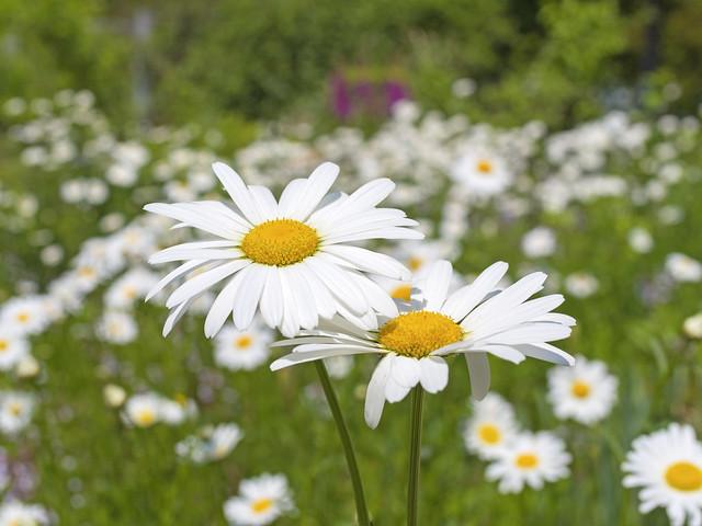 マーガレットの花言葉や由来・色別花言葉