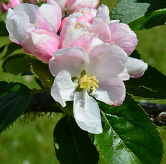 Apple blossom (Old Hoggers) Tags: rhodies