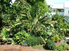 Key West: il giardino di casa Hemingway (costagar51) Tags: keywest florida floridakeys america natura piante contactgroups anticando natureselegantshots thebestofmimamorsgroups