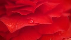 Kiss the Rain (setoboonhong ( on and off )) Tags: flower colour macro nature water field rain petals kiss bokeh piano drop begonia depth yiruma