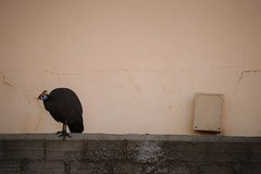 Guinea Fowl Next Wall (dutoitfj95) Tags: guineafowl nature urban bird