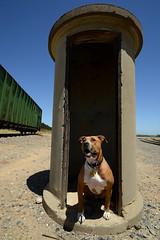 Muttdog along the SP (CN Southwell) Tags: bulldog american erie pibble