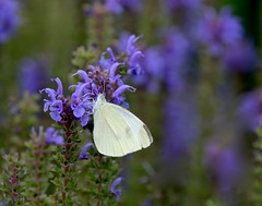 Ubiquitous (Slow Turning) Tags: pierisrapae cabbagewhitebutterfly bluesalvia perennial flowers blossoms blooms wings summer southernontario