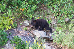 DSC_2309 (CEGPhotography) Tags: skylinedrive shenandoah shenandoahvalley national park bear blackbear cub