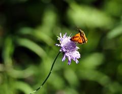 Papillon au dcollage (Carahiah) Tags: lasylvaine ochlodessylvanusesp papillon butterfly macro nature alsace france fleur dcollage envol fly