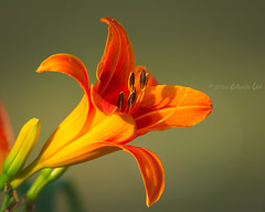 RG_301 ( Ed Lee) Tags: nikon 7100 200500 56e richmond green morning overcast garden floral flower portrait color contrast closeup macro bokeh petal plant bright depthoffield