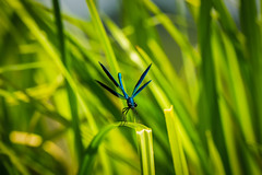 Calopteryx splendens (notastyy) Tags: damselflies dragonflies dragonfly macro closeup nature blue wildlife animal metallic