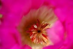 DSCF3209 (manomesa) Tags: cactus flor echinocereus pectinatus