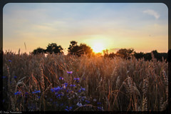 Cornflower Field (asm_naumann) Tags: field cornflower crops cornflowers blue gold golden country countryside summer goldenhour green nature rural