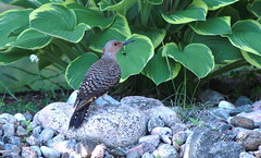 *** Pic flamboyant  femelle / Northern Flicker Female (ricketdi) Tags: bird woodpecker ngc pic flicker northernflicker colaptesauratus cantley coth picflamboyant coth5 sunrays5