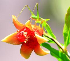 Pomegranate and Katydid (Reid2008) Tags: katydid bushcricket longhornedgrasshopper tettigoniidae pomegranate