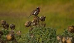 Loica (Sturnella loyca) (lamemoriademisojos) Tags: loica humedal ave fauna mantagua