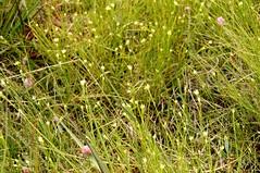 im Wilden Moor bei Schwabstedt, Nordfriesland - Bltenstand des Weien Schnabelriedes (Rhynchospora alba) (16) (Chironius) Tags: grasblte blte blossom flower fleur flor fiore blten    gras grser herbe gramines grass grasses erba   commeliniden ssgrasartige poales weis schwabstedt nordfriesland schleswigholstein deutschland germany allemagne alemania germania    ogie pomie szlezwigholsztyn niemcy pomienie cyperaceae sauergrasgewchse  moor sumpf marsh peat bog sump bottoms swamp pantano turbera marais tourbire marcageuse