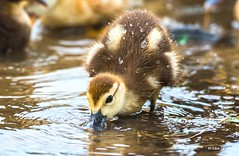 Duckling and Water Droplets (   (Thank you, my friends, Adam!) Tags: flower macro cute art water beauty closeup lens photography nikon gallery photographer florida wildlife fine central duckling telephoto excellent droplet dslr curve          adamzhang