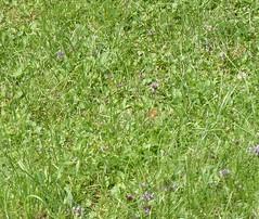 Falter im Wiesengras (bratispixl) Tags: traunreut stadtrundweg chiemgau oberbayern germany bratispixl tele blumengarten lichtwechsel schrfentiefe fokussierung spot naturfotografie dokumentation falter faltermonitoring