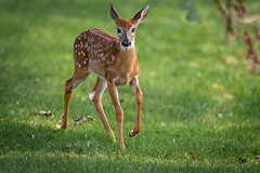 BoyWonder (jmishefske) Tags: greenfield nikon wildlife buck d7100 westallis whitetail wisconsin county july park 2016 milwaukee deer fawn