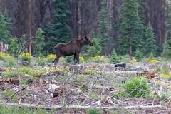 Moose near Lake City (stonejd1946) Tags: colorado moose lakecity mammals places nature unitedstates us