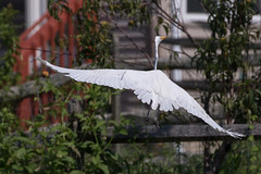 Great Egret in Flight-1 (Scott Alan McClurg) Tags: aalba ardea ardeidae algae animal back backyard bluesky flap flapping flight fly flying glide gliding glow greategret land landing life nature naturephotography neighborhood pond portrait sky summer sun wetlands white wild wildlife
