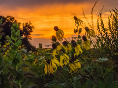 20160723-IMG_0012 (MandoCatDSM) Tags: sunflowers badger creek wildflowers sunrise
