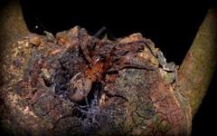 Desidae (dustaway) Tags: arthropoda arachnida araneae araneomorphae desidae australianspiders rainforest rotarypark lismore northernrivers nsw australia nature